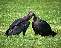 Black Vulture. Image taken with a Fuji X-T1 camera and 100-400 mm OIS lens.