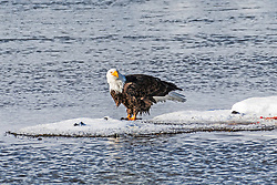 A bald eagle just finishing up a meal of trout in the Madison River at Yellowstone National Park