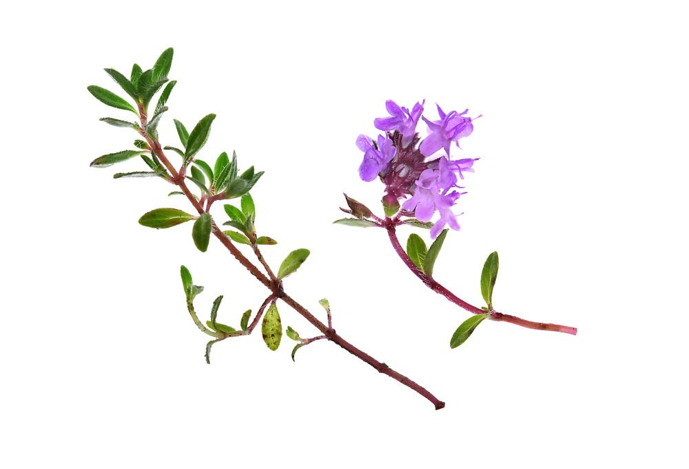 Wild Thyme - Thymus polytrichus