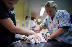 Nurse and surgeon sedate a rabbit prior to a procedure at Rushcliffe Veterinary Surgery, Nottingham, UK.