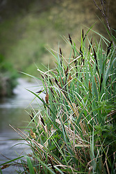 Lesser Pond Sedge growing on a river bank. Carex acutiformis