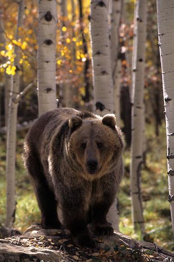 Grizzly Bear, (Ursus horriblis) In western Rockies. Montana. Fall. Captive Animal.