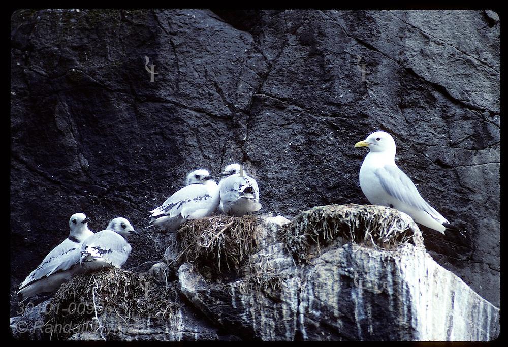 Kittiwake tends four young on ledge of columnar basalt along sea cliffs of Hornbjarg; West Fjords Iceland