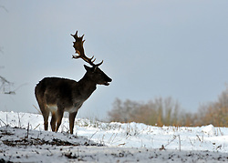 © Licensed to London News Pictures. 10/02/2012, Richmond, UK. Deer hunt for food in the snow. People enjoy the snow in Richmond Park in West London today 10 February 2012. The cold weather across the UK is set to continue over the weekend.  Photo credit : Stephen Simpson/LNP