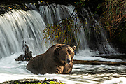 The dominate adult male Brown Bear known as 747, watch for Sockeye Salmon in the far pool at Brooks Falls in Katmai National Park and Preserve September 16, 2019 near King Salmon, Alaska. The park spans the worlds largest salmon run with nearly 62 million salmon migrating through the streams which feeds some of the largest bears in the world.