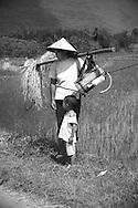 Farmer and her kid in the rice fields of Yangshuo's countryside. Yangshuo, guangxi, china