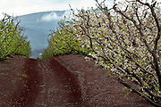 Israel, Golan Heights, Apple orchard