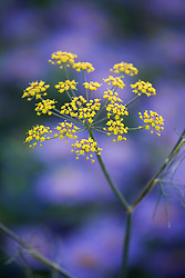 Foeniculum vulgare - fennel