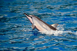 Long-snouted Spinner Dolphin calf, head-slapping, Stenella longirostris, Big Island, Hawaii, Pacific Ocean