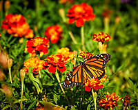 Monarch Butterfly on a Marigold flower. Backyard summer nature in New Jersey. Image taken with a Nikon D4 camera and 80-400 mm VRII telephoto zoom lens (ISO 140, 400 mm, f/5.6, 1/400 sec).