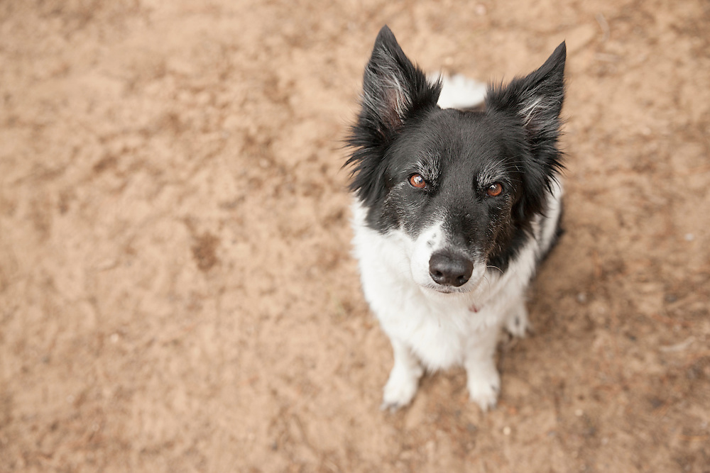 Black and White Border Collie looking up at the camera