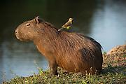 Capybara (Hydrochoerus hydrochaeris)<br /> Northern Pantanal<br /> Mato Grosso<br /> Brazil