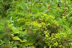 Euphorbia cyparissias with beans