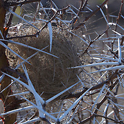 The nest of a Blue Waxbill nesteled amongst the thorns of an acacia bush. Timabavadi Game Reserve, South Africa.