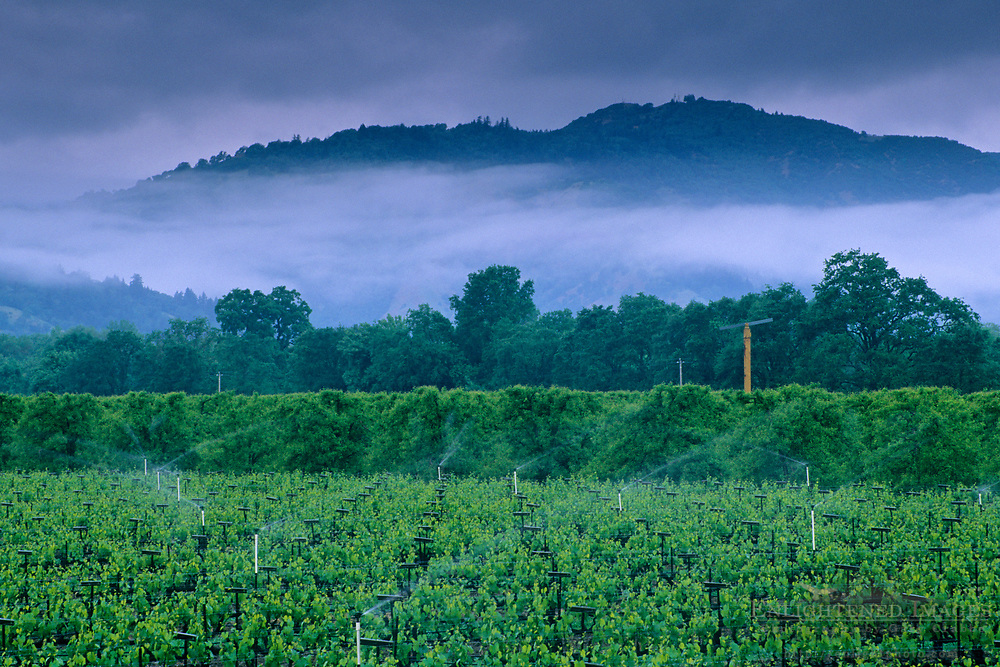 Stormy spring morning over vineyard, East Side Road, near Ukiah, Mendocino County, California