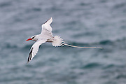 The red-billed tropicbird (Phaethon aethereus) in flight off the coast of Genovesa Island, Galapagos Archipelago - Ecuador.