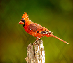 A Male Juvenile Northern Cardinal Perched Against A Backdrop Of Lime Green