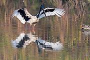 Black-necked stork (Ephippiorhynchus asiaticus) from Kaziranga National Park, Assam, north-east India.
