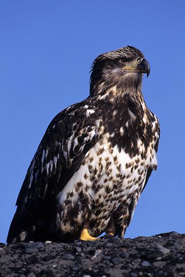Bald Eagle, (Haliaeetus leucocephalus) Immature. Alaska.