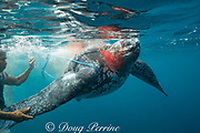 traditional subsistence hunters tie another line around a harpooned leatherback sea turtle, Dermochelys coriacea, that is bleeding after being clubbed over the head ; Kei ( or Kai ) Islands, Moluccas, eastern Indonesia, Banda Sea, Southwest Pacific Ocean