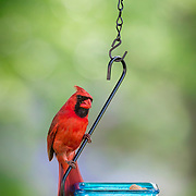 Northern cardinal (Cardinalis cardinalis) male looks fetching in brilliant red plumage while perching on swinging treat bowl.  Cardinals appreciate seeds at feeders but enjoy an occasional peanut treat.