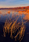 Submerged Brush and Marsh at Sunset, Stillwater National Wildlife Refuge, Nevada
