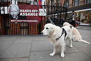 Golden retriever dog outside the Ecuadorian Embassy on 5th April 2019 in London, England, United Kingdom. Wikileaks has announced that their founder Julian Assange may be expelled from the Embassy within hours or days.