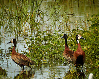 White-faced Whistling-Duck. Chobe river, Botswana.  Image taken with a Nikon 1 V3 camera and  70-300 mm VR lens.