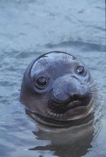 Northern Elephant Seal, (Mirounga angustirostris) Weaner playing in tidal pool. San Benito Island. Baja, Mexico.