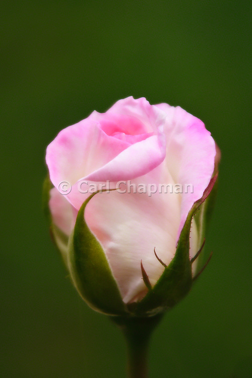 Princess de Monaco pink rose. Also known as Rosa Meimagarmic or Preference rose. <br /> <br /> Editions:- Open Edition Print / Stock Image