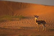 Mountain Gazelle, Gazella gazella, Dubai Desert Conservation Reserve, Dubai