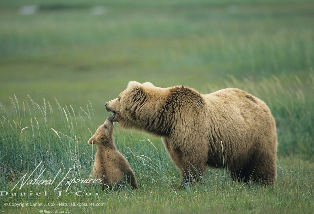 Alaskan Brown Bear (Ursus middendorffi) cub kissing its mother. Alaskan Peninsula