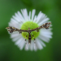 Plume moth on an aster - C&O canal