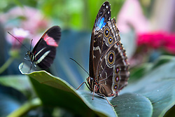 """© Licensed to London News Pictures. 05/09/2019. LONDON, UK. Colourful butterflies at a """"Butterfly Biosphere"""" in Grosvenor Square, Mayfair.  Setup by Bompas and Parr in association with King's College London and Butterfly Conservation, the aim is to make visitors more aware of the importance of pollinators and the ecosytem that the capital's 50 species of butterfly need to thrive.  The biosphere is open 5 to 15 September.  Photo credit: Stephen Chung/LNP"""