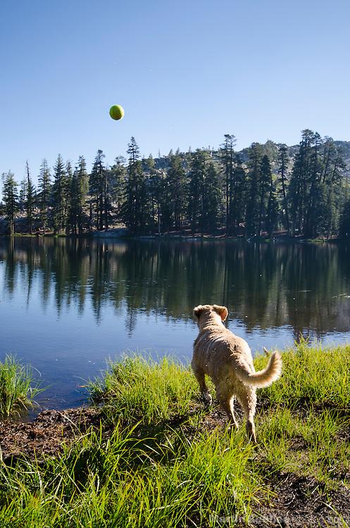Dog (golden retriever) chasing a ball into Bull Run Lake, Carson-Iceberg Wilderness, Stanislaus National Forest, California