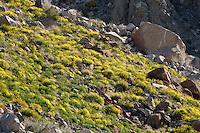 Mexican Gold Poppies (Eschscholtzia mexicana) growing on a slope in the Anza-Borrego Desert, California