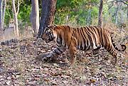 The 10 year old Bamera male bengal tiger in Bandhavgarh National Park. April 2014.