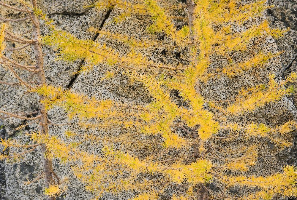 A closeup view of a Larch tree and rocks, Enchantment Lakes Wilderness Area, Washington Cascades, USA.