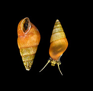 Laver Spire-shell - Peringia ulvae