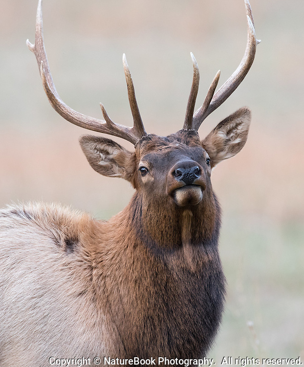 A bull elk raises his head from feeding just long enough for this image at Cataloochee Valley in Great Smoky Mountains National Park.