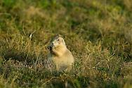 9/27/08 Valentine, NEB.Niobrara National Wildlife refuge..Prairie Dog..Chris Machian/for the New York Times
