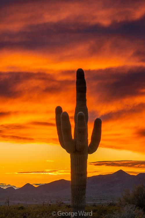Saguaro Cactus and Sunset Sky, Kofa Wilderness, Kofa National Wildlife Refuge, Yuma County, Arizona