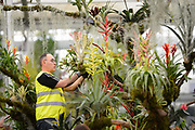 Alan Billington works on a display of Bromeliads on the 'Every Picture Tells a Story' stand as he prepares for the opening of the Chelsea Flower Show. The RHS Chelsea Flower Show, formally known as the Great Spring Show, is a garden show held for five days in May by the Royal Horticultural Society. It is the most famous flower show in the United Kingdom, and perhaps in the world, attracting visitors from all continents.