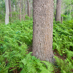 Ferns in a white pine forest at the O'Neil Farm in Duxbury, Massachusetts.