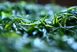 THEMENBILD - Bei der traditionellen Produktion von Schwarztee, orthodoxe Teeproduktion genannt, durchlaufen die Teeblätter fünf Stufen: das Welken (Withering), damit die Blätter weich und zart werden, das Rollen (Rolling), das Aussieben, die Oxidation und zum Schluss die Trocknung (Firing). Um die Blätter nach dem Pflücken zu erweichen, wurden sie früher zwei Stunden in die Sonne gelegt. Später verwendete man Welkhürden in speziellen Hallen, in denen eine Temperatur von 20 bis 22 °C herrschte. Der Welkprozess dauerte dann bis zu 24 Stunden. Heute werden meistens so genannte Welktunnel eingesetzt, die die Teeblätter auf Fließbändern durchlaufen. Die Stärke der Welkung wirkt sich (im umgekehrten Verhältnis) auf den Grad der später erzielbaren Oxidation aus. Aufgenommen in Zhongcunba am 7. April 2016 // Photo taken on April 7, 2016 shows the newly picked tea leaves in Zhongcunba Village of Xuan'en County, central China's Hubei Province, April 7, 2016. EXPA Pictures © 2016, PhotoCredit: EXPA/ Photoshot/ Song Wen<br /> <br /> *****ATTENTION - for AUT, SLO, CRO, SRB, BIH, MAZ, SUI only*****
