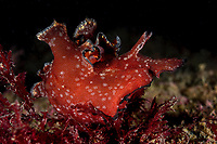 Pygmy sea hare, Aplysia parvula, is a sea hare in the Aplysiidae family eating red algae. This is a circumtropical sea hare. Pak Lap Tsai, Sai Kung, Hong Kong, China.<br /> This Image is a part of the mission Wild Sea Hong Kong (Wild Wonders of China).