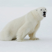 A large male polar bear sedated with immobilizing drugs by Dr. Steve Amstrup. Beaufort Sea, Alaska