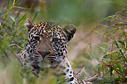 Portrait of a male leopard, Panthera pardus, hiding in tall grass..
