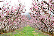 Chiles peach orchard.