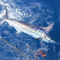 Blue Marlin swimming sideways underwater next to the boat offshore Luanda, Angola.